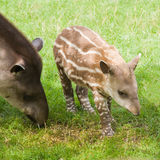 Tapir suramericano Foto de archivo libre de regalías