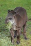 Tapir suramericano Fotografía de archivo libre de regalías