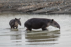 Tapir taking a bath in Corcovado with brood. Tapir taking a bath in Corcovado Royalty Free Stock Photos