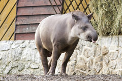 Tapir - Tapirus Photos stock