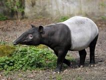 Tapir - Tapirus-indicus stock afbeeldingen