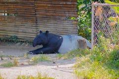 Tapir Tapirus indicus stockfotografie