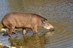Tapir w rzece Zdjęcia Royalty Free