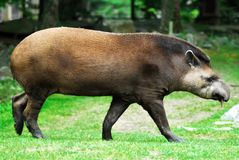 Tapir walking. Tapir of profile walking on grass Stock Image