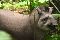 Tapir walking in Madidi National Park. In the Amazon rainforest near Rurrenabaque, Bolivia royalty free stock image