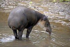Tapir in water. Tapir bathing in the water in a zoo in costa Rica Royalty Free Stock Photos