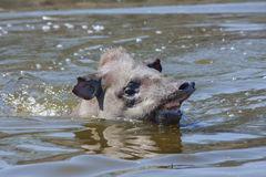 Tapir in the water Royalty Free Stock Photos