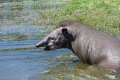 Tapir in the water Stock Image