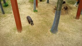 Tapir. In the zoo Royalty Free Stock Images