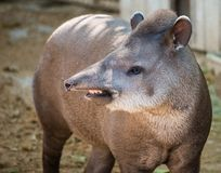 Tapir in a zoo Stock Photography