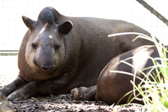 Tapir at zoo Royalty Free Stock Photography