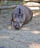 Tapir Stock Photography