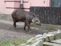 Tapiranta [Tapirus-terrestris] in Wroclaw-DIERENTUIN stock fotografie
