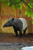 Tapiro malese Fotografie Stock