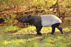 Tapiro malese Fotografia Stock Libera da Diritti