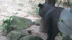 tapiro malese adulto di 4k A (indicus del Tapirus) che mangia alimento nello zoo archivi video