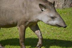 Tapiro sudamericano Fotografie Stock Libere da Diritti