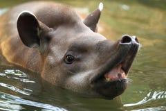 Tapiro sudamericano Fotografia Stock