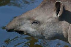 Tapiro sudamericano Immagini Stock Libere da Diritti