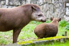 Tapiro sudamericano Immagini Stock
