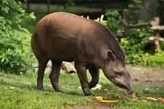 Tapiro sudamericano (terrestris del Tapirus) Fotografie Stock Libere da Diritti