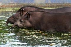 Tapirs Royalty-vrije Stock Foto