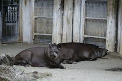 Tapirs Royalty-vrije Stock Foto's