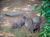 tapirs Stockbilder