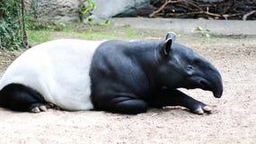 tapirs Στοκ φωτογραφία με δικαίωμα ελεύθερης χρήσης