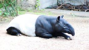 tapirs Στοκ Φωτογραφίες