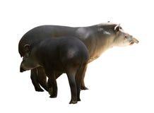 Tapirs adultes et jeunes images stock