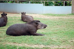 Tapirs captifs Photo libre de droits