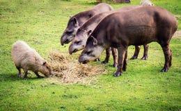 Tapirs de plaine Photos stock