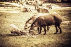 Tapirs de plaine Photos libres de droits