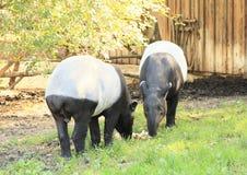 Tapirs Stock Images