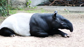 Tapirs. Lat. Tapirus are herbivorous animals from a group of odd-toed ungulates superfamily tapiroobraznye, somewhat resembling a pig, but unlike it possesses a Royalty Free Stock Photo