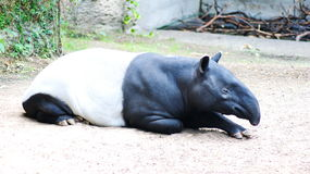 Tapirs. Lat. Tapirus are herbivorous animals from a group of odd-toed ungulates superfamily tapiroobraznye, somewhat resembling a pig, but unlike it possesses a Stock Photos