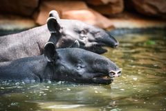 Tapirsimning på vattnet i djurlivfristaden - Tapirusterrestris eller Malayan Tapirus Indicus fotografering för bildbyråer