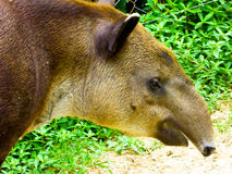 Tapirus bairdii`s face feature Stock Images