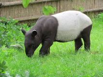Tapirus indicus. Little black and white tapir in Prague Zoo Stock Photos