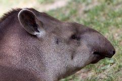 Tapirus terrestris closeup portrait Stock Image