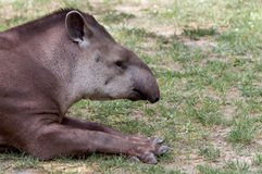 Tapirus terrestris resting Stock Photo