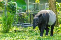 Tapirusindicus för Malayan tapir Arkivbild