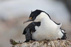 Tapis à longs poils antarctique sur le nid, Antarctique Photographie stock