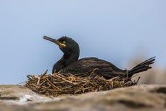Tapis à longs poils européenne sur le nid Photo stock