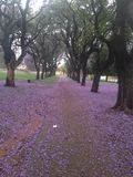 Tapis de fleur de Jacaranda images stock