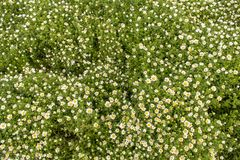 Tapis de fleur Petites fleurs blanches douces de camomille photographie stock