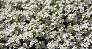 Tapis de floraison d'Aubrieta blanc Aubretia image libre de droits