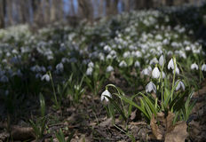 Tapis de forêt de plicatus de Galanthus de perce-neige au printemps photo stock