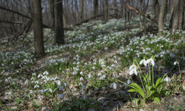 Tapis de forêt de plicatus de Galanthus de perce-neige au printemps photos stock